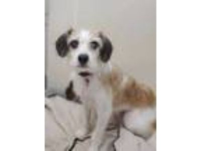 Adopt Sugar a White Terrier (Unknown Type, Small) / Mixed dog in Woodstock