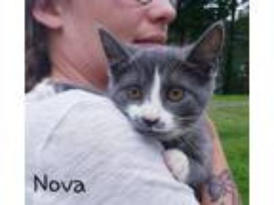 Adopt Nova *beautiful kitten* a Domestic Short Hair