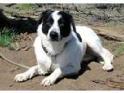 Adopt Trixie a White Border Collie / Mixed dog in Redmond, OR (25276038)