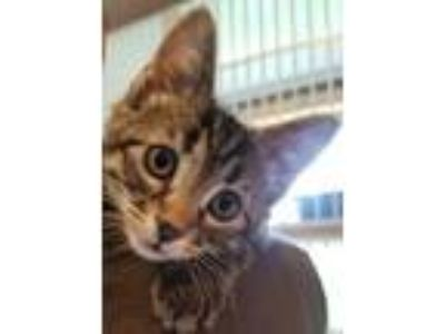 Adopt Fazioli a Domestic Short Hair