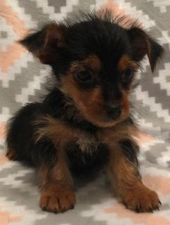 AKC Yorkie Yorkshire Terrier Puppies 9 weeks old VET checked