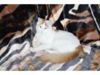 Adopt Teddy a White (Mostly) Domestic Longhair / Mixed cat in Conroe