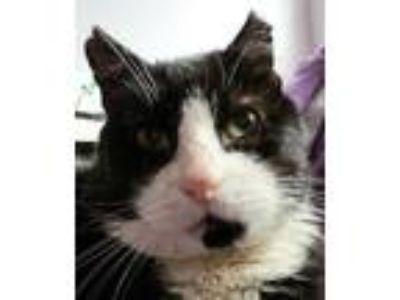 Adopt Gangsta a Black & White or Tuxedo Domestic Shorthair / Mixed (short coat)