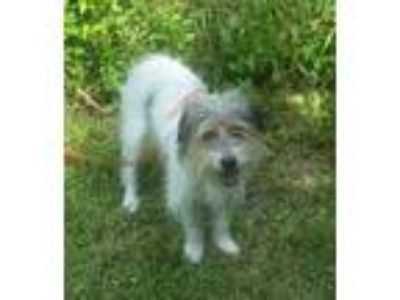 Adopt Parasha a Jack Russell Terrier, Lhasa Apso