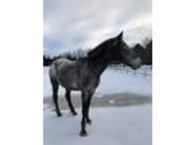 Trail Safe Appaloosa Gelding Former 4H gaming horse