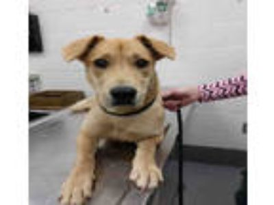 Adopt GOLDIE a Tan/Yellow/Fawn Labrador Retriever / Mixed dog in Peoria