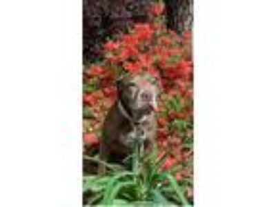 Adopt Hazel a American Staffordshire Terrier / Beagle / Mixed dog in Raleigh