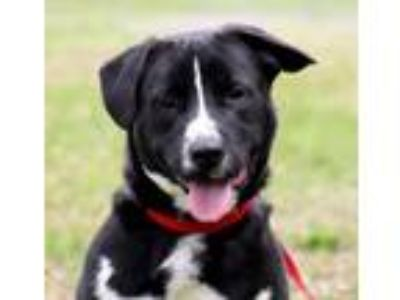 Adopt Solei a Border Collie, Mixed Breed