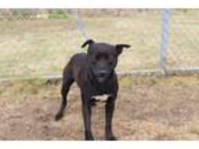 Adopt Byron a Black American Pit Bull Terrier dog in Olive Branch, MS (25065014)
