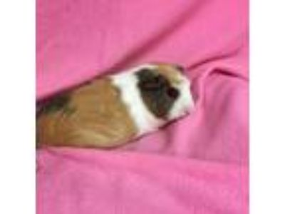 Adopt Cream a Brown or Chocolate Guinea Pig / Guinea Pig / Mixed small animal in