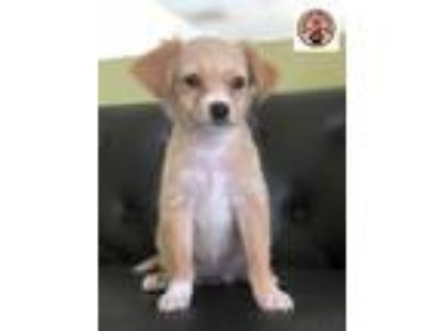 Adopt Marshmallow a Tan/Yellow/Fawn - with White Terrier (Unknown Type
