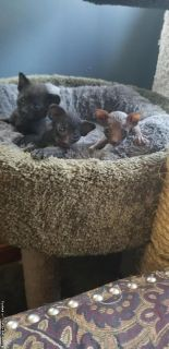 Black peterbald kittens
