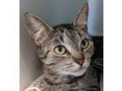 Adopt Florence a Brown Tabby Domestic Shorthair / Mixed (short coat) cat in