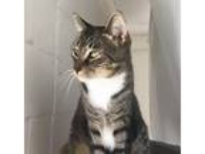 Adopt Panthro a Tan or Fawn Tabby Bengal (short coat) cat in Island Park
