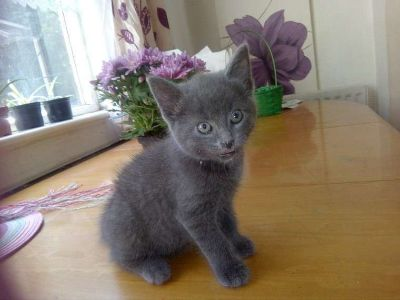 Very loving and chatty Russian Blue Kitten for sale