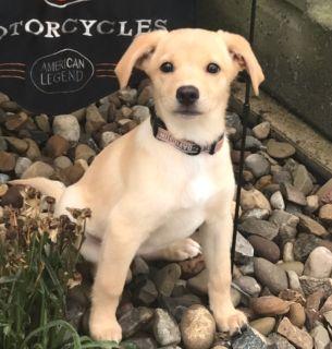 Labbe PUPPY FOR SALE ADN-94316 - Lab Beagle Puppy