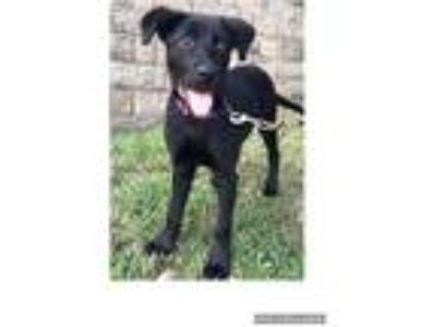 Adopt Rayna a Black Labrador Retriever / Mixed dog in Waterbury, CT (25908051)