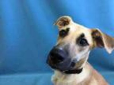 Adopt Sally Sue a Tan/Yellow/Fawn Great Dane / Mixed dog in St.