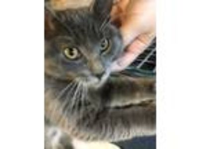 Adopt Yuumi a Gray or Blue Domestic Mediumhair / Domestic Shorthair / Mixed cat