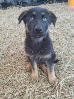 German Shepherd Dog PUPPY FOR SALE ADN-77233 - Rocky
