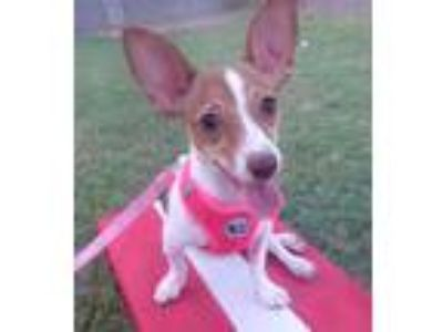 Adopt Shiloh a White - with Brown or Chocolate Rat Terrier / Rat Terrier / Mixed