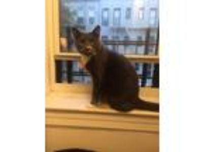 Adopt Mercuri a Gray or Blue American Shorthair / Mixed cat in Long Island City