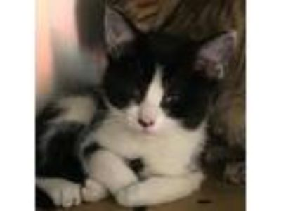 Adopt Cowie a All Black Domestic Mediumhair cat in Knoxville, TN (25337922)