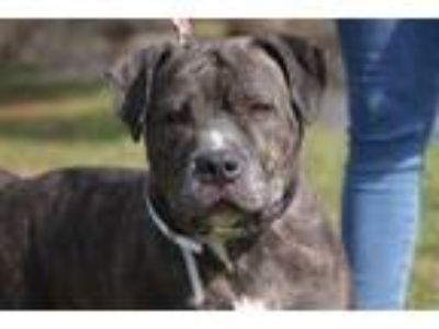 Adopt Scampers a Pit Bull Terrier