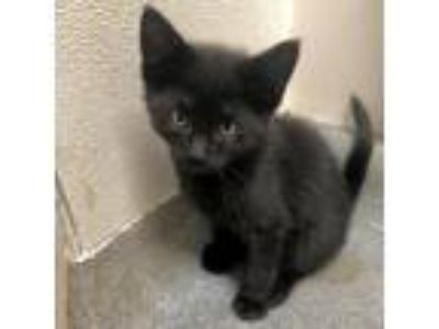 Adopt Lionel Richie a All Black Domestic Shorthair cat in Rochester