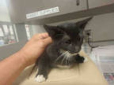 Adopt SPRING a All Black Domestic Shorthair / Mixed (short coat) cat in Van