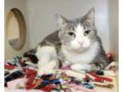 Adopt Kasia a Gray or Blue Domestic Shorthair / Domestic Shorthair / Mixed cat
