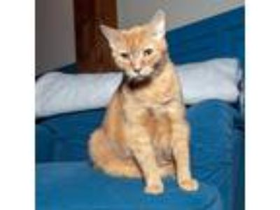Adopt Mr. Cherry a Orange or Red Domestic Shorthair / Mixed cat in Brooklyn