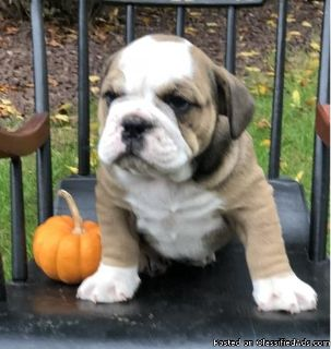 Fraddiles male and female English bulldog puppies for adoption please contact via text or call for more details (530)-436