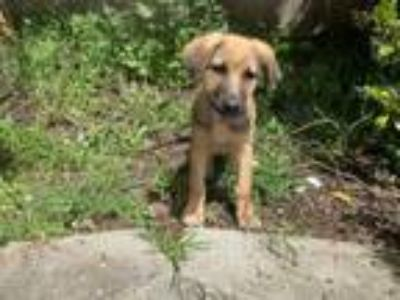 Adopt Archie a Golden Retriever, German Shepherd Dog