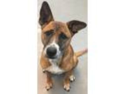 Adopt Rosey a Tan/Yellow/Fawn Shepherd (Unknown Type) / Boxer / Mixed dog in New