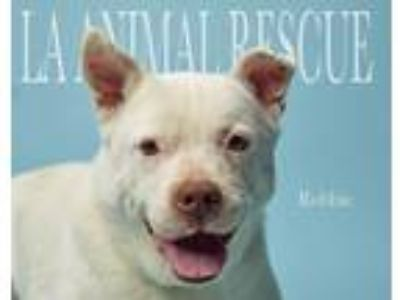 Adopt Robbie a White Labrador Retriever / Shepherd (Unknown Type) / Mixed dog in