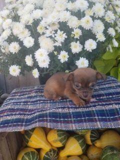 Thor Male Chihuahua