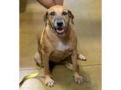 Adopt Destiny a Hound, Labrador Retriever