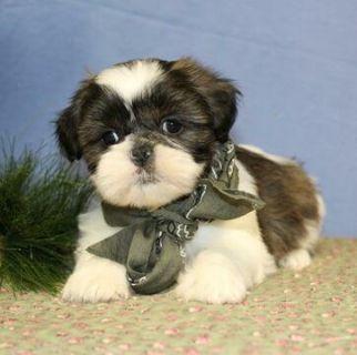 Shih Tzu PUPPY FOR SALE ADN-109071 - Shih Tzu Puppy