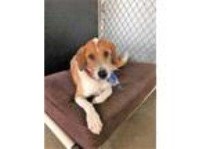 Adopt Oscar a Tan/Yellow/Fawn Hound (Unknown Type) / Mixed dog in Beaumont