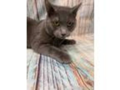 Adopt Ren a Gray or Blue Domestic Shorthair / Domestic Shorthair / Mixed cat in