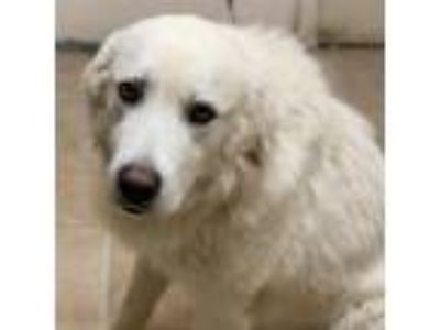 Adopt Fleming a White Great Pyrenees / Mixed dog in Waxahachie, TX (25546952)