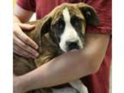 Adopt Luke a Brindle Boxer / Shepherd (Unknown Type) / Mixed dog in