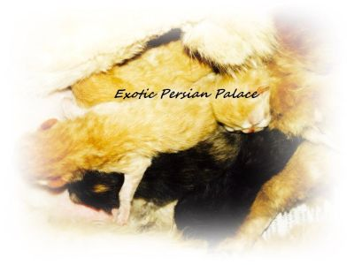 ESH Champion Sired Exotic Short Hair Persians Kittens