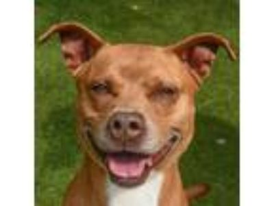 Adopt WILEY a Red/Golden/Orange/Chestnut American Pit Bull Terrier / Retriever