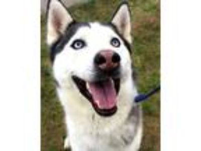 Adopt Koda a White - with Black Siberian Husky / Mixed dog in Phoenix