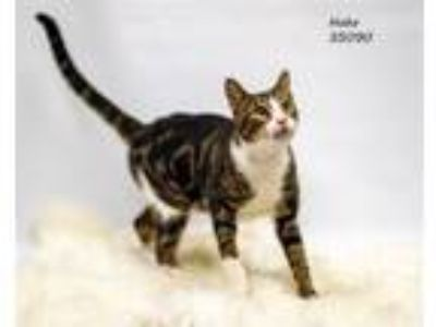 Adopt Hobo a Domestic Short Hair