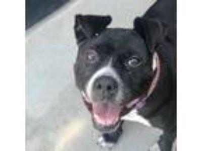 Adopt *Faith a Pit Bull Terrier, Boxer