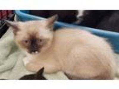 Adopt Elton John a Domestic Medium Hair, Siamese
