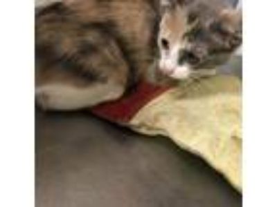 Adopt Harlow a Calico or Dilute Calico Domestic Shorthair cat in Bryan